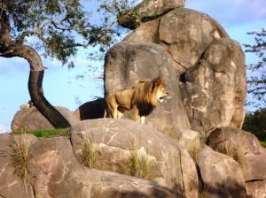 Avsluttet den dagen med Safari, og møtte denne Stolte fyren!