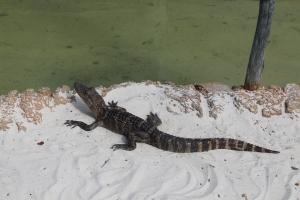 Orlando ligg i Alligatorland!
