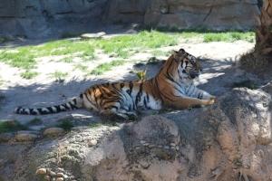 En tiger!