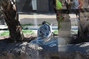 En heilt anna tiger, den her e jo kvit.