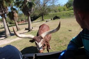 Okse/eller ku på safarien.