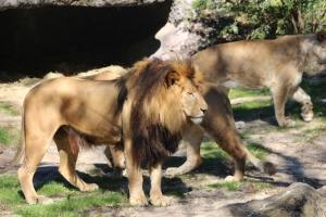 En løve og ett par løvinner.
